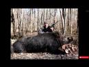 Охота на кабана CАМЫЕ БОЛЬШИЕ ДИКИЕ КАБАНЫ ТОP 15 ОГРОМНЫХ ТРОФЕЕВ Wild boar hunting mp4