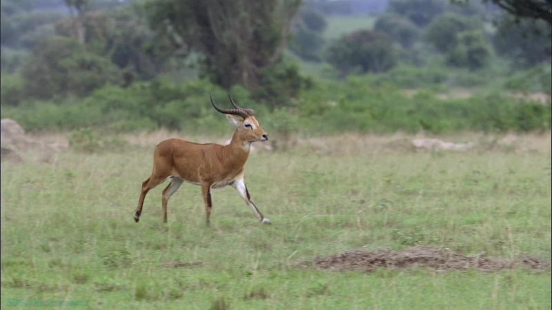 BBC «Великий рифт: Дикое сердце Африки (3). Трава» (Документальный, природа, животные, 2010)