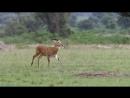 BBC Великий рифт Дикое сердце Африки 3 Трава Документальный природа животные 2010