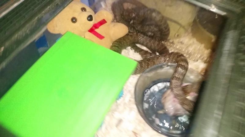 Elaphe dione hamster feeding