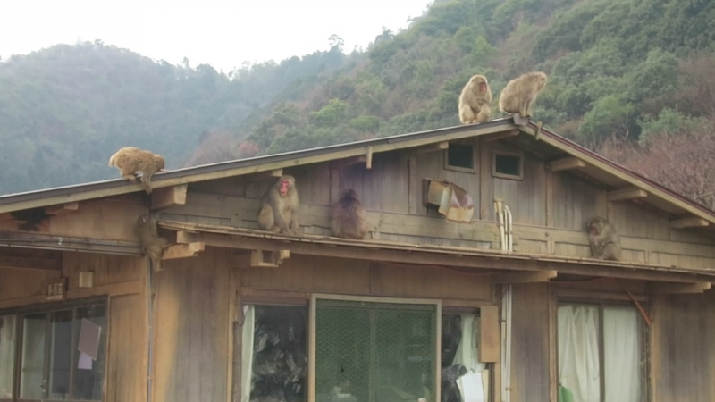 Японские макаки в Киото