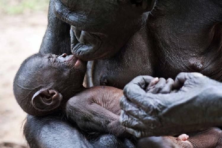 Israeli Documents Bonobo Apes Making Spears