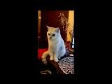 Мой кот Мартин и лазерная указка.