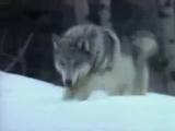 Настоящий мужчина, как волк: либо один, либо с одной волчицей навсегда! А бегать за овцами — это удел баранов!