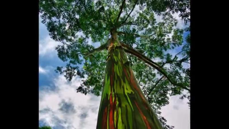 Эвкалипт Радужный эвкалипт Eucalyptus deglupta Филлипины