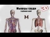 Глубокие мышцы груди (детальный обзор)
