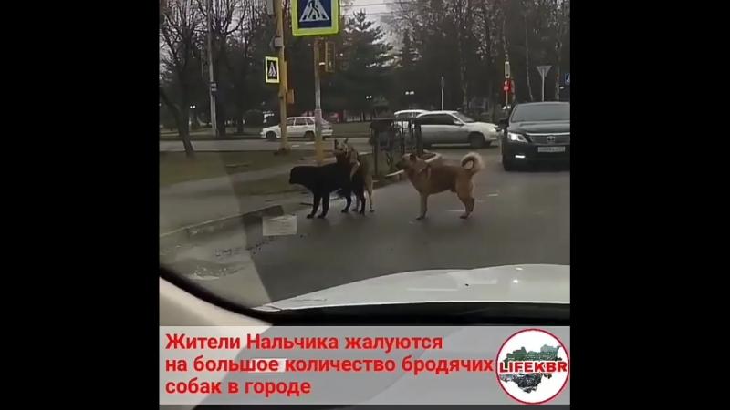 Жители Нальчика жалуются на большое количество бродячих собак в городе