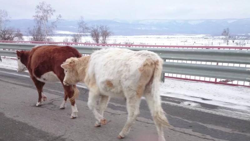Волосатые бурятские коровы))
