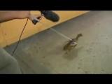 Quack echo