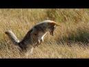 Животный мир. Волки и койоты. Звери убийцы. Сила укуса. Хватать и рвать. Ореал оби ...