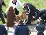 Алабай вцепился мёртво в другую собаку на выставке