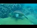 Черепаха Бисса. Eretmochelys imbricata. Ma Long, Phi-Phi Leh
