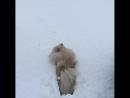 Не просто жить маленьким собачкам в северной Норвегии
