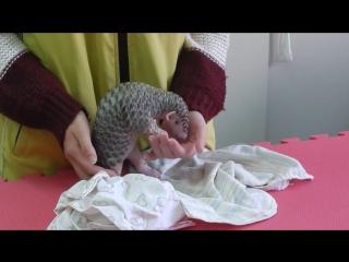 Детёныш Панголина в зоопарке Тайбэя ( декабрь 2014 ) ...