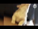 Милые собачки породы вельш-корги  The Pet Collective