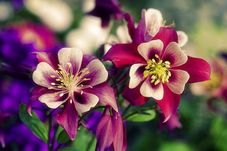 Многолетники для цветников - Аквилегия