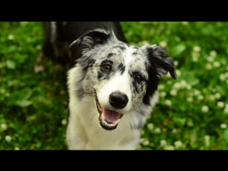 Dog tricks | Border Collie Yuki |