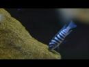 Metriaclima spec. zebra chilumba Katale