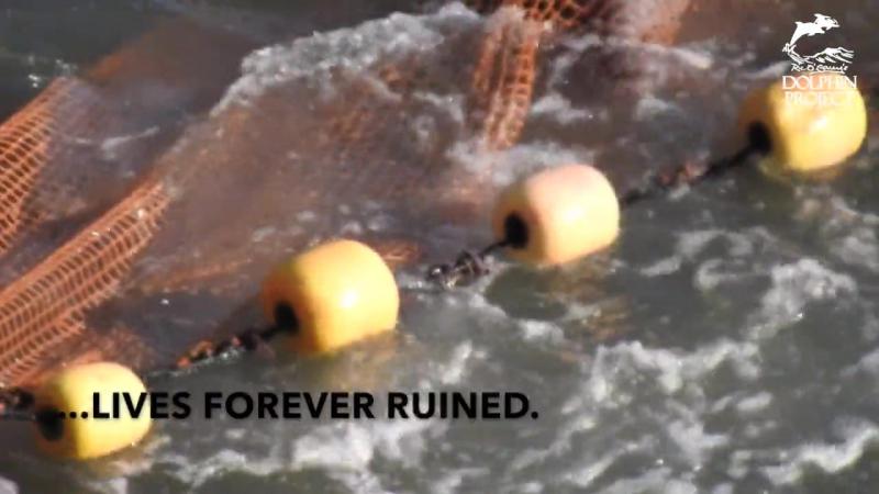 Think dolphins volunteer for captivity Brutal bottlenose dolphin captive selection