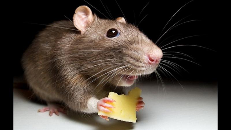 Мышь в с. Дебёсы застряла в раковине и не может выбраться 26.01.2017. Дебёсский район. Удмуртия и я.