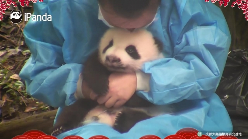 Best Panda Moments of the Year Rubbing and Kissing A Panda iPanda
