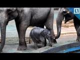 Слонёнок купается в бассейне