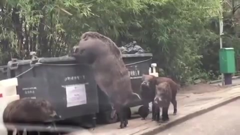 Humongous wild boar dubbed 'PIGZILLA' caught rummaging through bins 'just a few feet from primary school