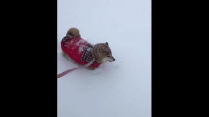 Snow shibe