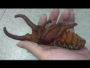 Куколка жука - геркулеса ...