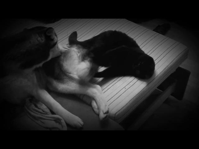 Хаски и шотландский вислоухий кот. Месть кота: Сожри ее хвост, прохвост.