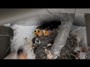 Новогвинейские ласточки (Welcome swallows)