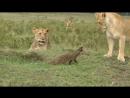 Бесстрашный мангуст против 4х львов