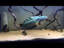 Змееголов (Channa barca)