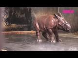 Детеныш носорога резвится под душем