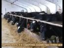 30 литров молока с коровы в день Миф или реальность