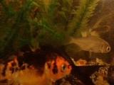 Мой аквариум 2018год. Карп.Камета.Речные.......