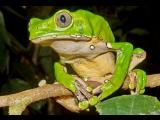 Шаманская лягушка
