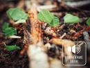 Звуки природы Муравьи листорезы