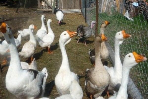 Выращивание гусей для начинающих 766