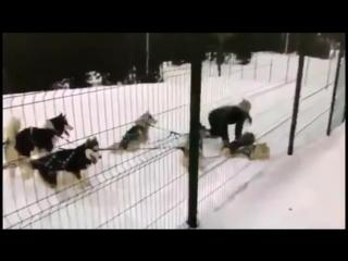 Дрессировщица в Сочи пинает собак хаски
