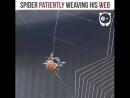 Трудно заснять,как пауки плетут паутину.Делать они предпочитают это ночью,в удаленных местах.А этот-смело позирует перед камерой