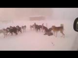 В Якутии стая бродячих собак держит в страхе жителей села