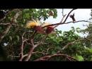 Брачный танец - Большая райская птица Paradisaea apoda