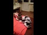 Кошки Молли и Долли. Передержка.