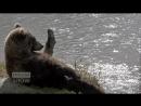 Сонная медведица