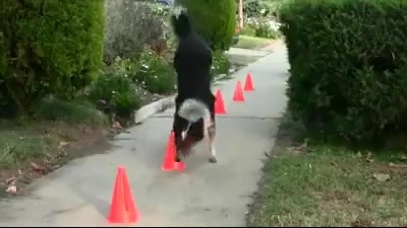 Клёвый талантливый пёсик