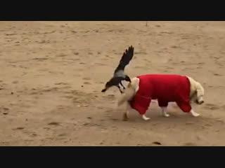 Наглые вороны