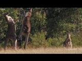 Известный факт, что самки кенгуру очень часто дерутся! Потому что у этой овцы реально точно такая же сумочка!
