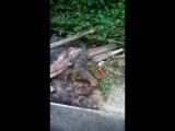 Варанасский Салатор охотится на мангуста в тайских помойках