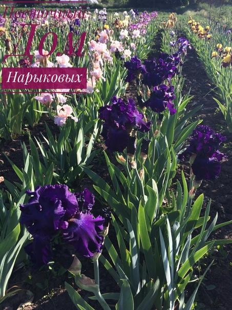 Девочки, делимся с вами информацией где можно приобрести красивые ирисы, пионы и лилейник, тюльпаны отличного качества по очень хорошим ценам.